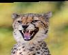 Cheeta Club