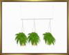 Hanging Ferns Trio