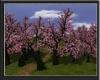 Cherry trees garden