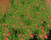 Flower  animated