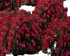 red mini rose bushes