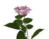 Pink Rose Surprise