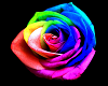 ^LT^Fallin Rainbow Roses
