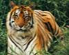 Tiger Totem Block