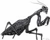 MantisReligiosa