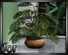 *JJ* Ficus Plant