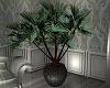 Gretta Yucca Plant