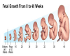 LUVI FETAL GROWTH CHART