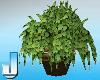 Mokka Amor Plant