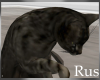 Rus Tabby Cat