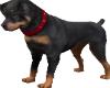 Rottweiler Timex Dog