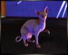 Sphynx Cat + Shadow