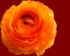 *h*Orange Ranunkel*h*