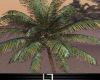 *Ly1* Bonita palm