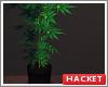 H@K Weed Plant