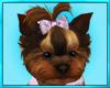 Yorkie Puppy Play