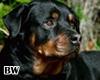 Rottweiler Dog Pet