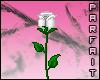 (*Par*) White Rose