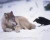 Raven wolf