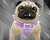 `Dog Pug+Action F