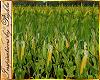 I~Farm*Corn Field