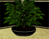 Club Touch Plant