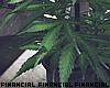 Home Grown Marijuana.1