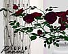 Vased Roses.