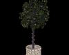 S954 Ficus w/Multicolor