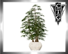 CTG   TALL PLANT IN POT