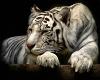 !!A!! White Tiger