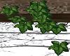 Charme / Wall ivy