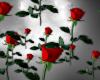 !S! Falling Roses