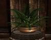 western coffee plant#1