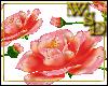 Floor Roses - Peach