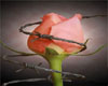 Pink Rose Barb Wire