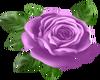 Lavender Rose.1