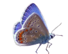 TF* Rose's Butterfly