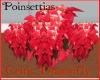 CD Poinsettia Plant