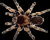 TarantulaSpiderCrawling