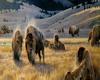 western buffalo's