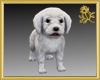 Maltese Puppy Pet