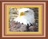Eagle framed picture