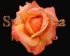 orange red rose 1