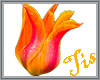(Tis) Orange Tulip
