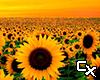 Sunflower Background 2 F