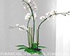 Minimalist Asian Orchid
