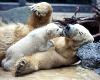 Plight of the Polar Bear