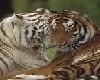 tigre e tigre
