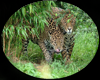 [AR]Leopards